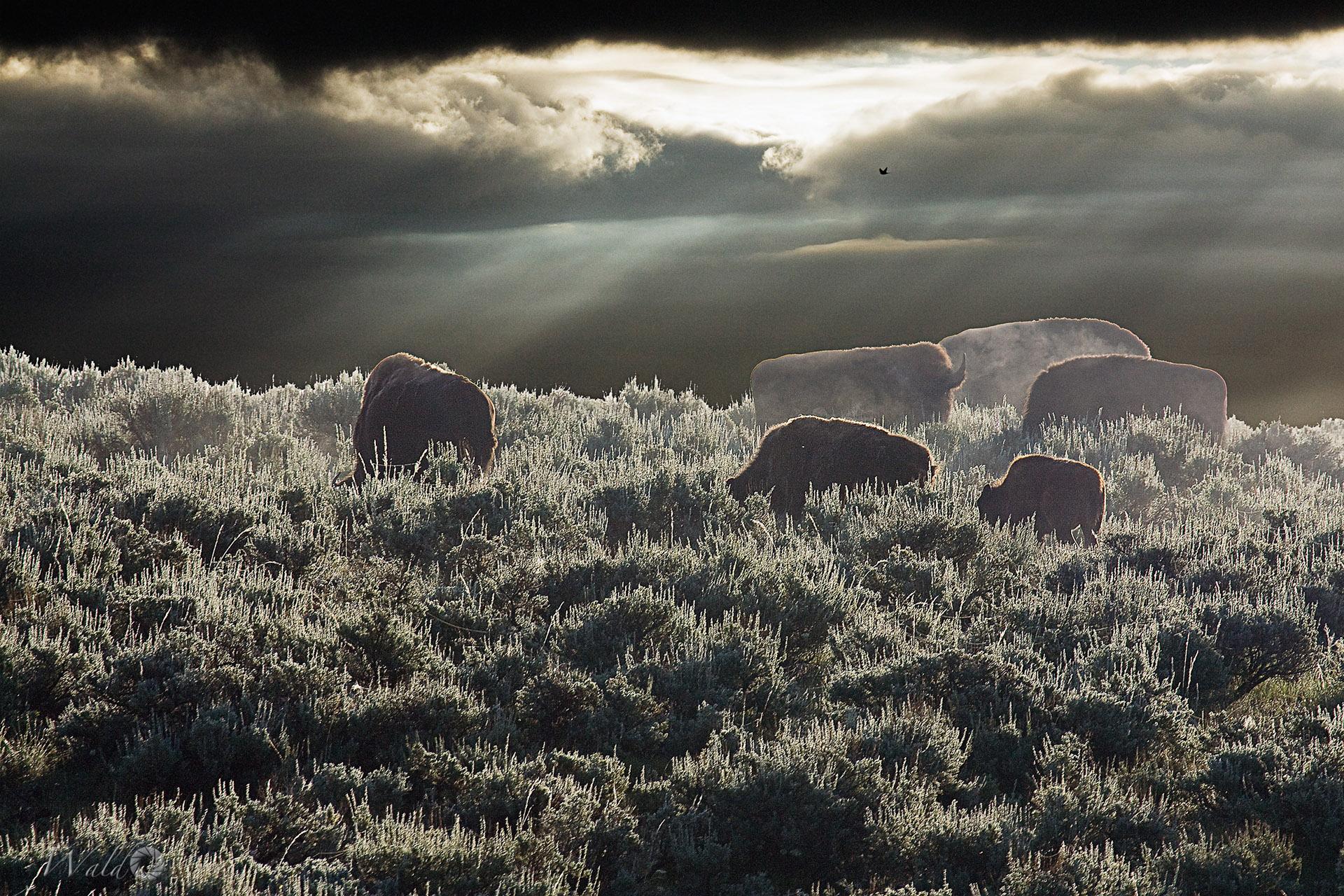 Bison Between Storms